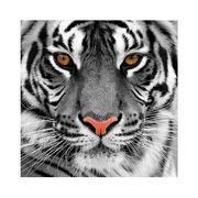 Cuadro con Bastidor Plexiglass Tigre 4 x 80 x 80 cm